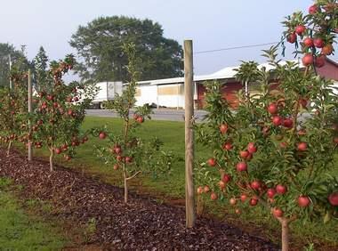 Apple 'Cumberland Spur'-0