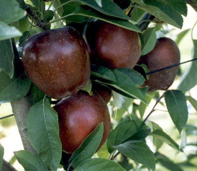 Apple 'Cumberland Spur'-1434