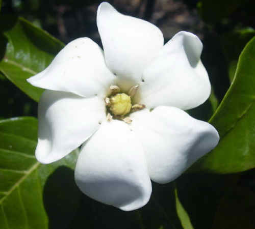 Gardenia 'Daisy'-1058