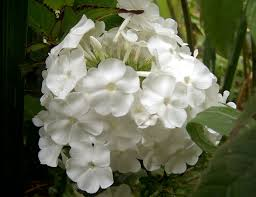 Phlox Paniculata 'David'-167