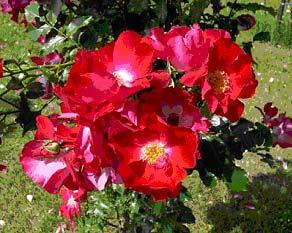 Rose Dortmund-937