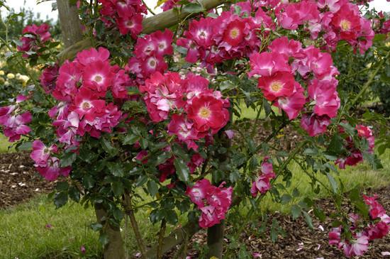 Rose Dortmund-938