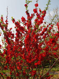 Quince Double Scarlet-0
