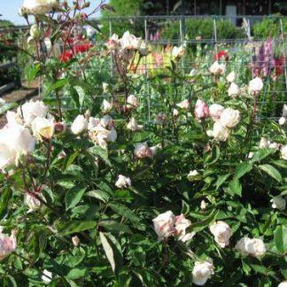 Rose 'Ducher'-0