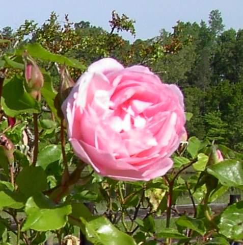Rose 'Duchesse de Brabant'-985