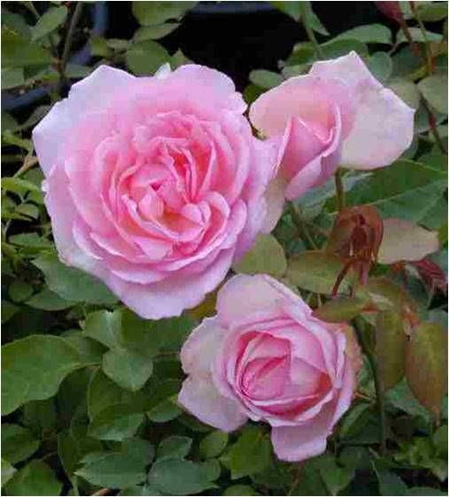 Rose 'Duchesse de Brabant'-986