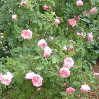 Rose 'Duchesse de Brabant'-0