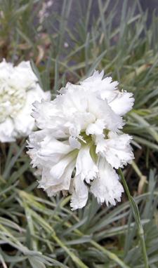 Dianthus 'Dunn's White' -60