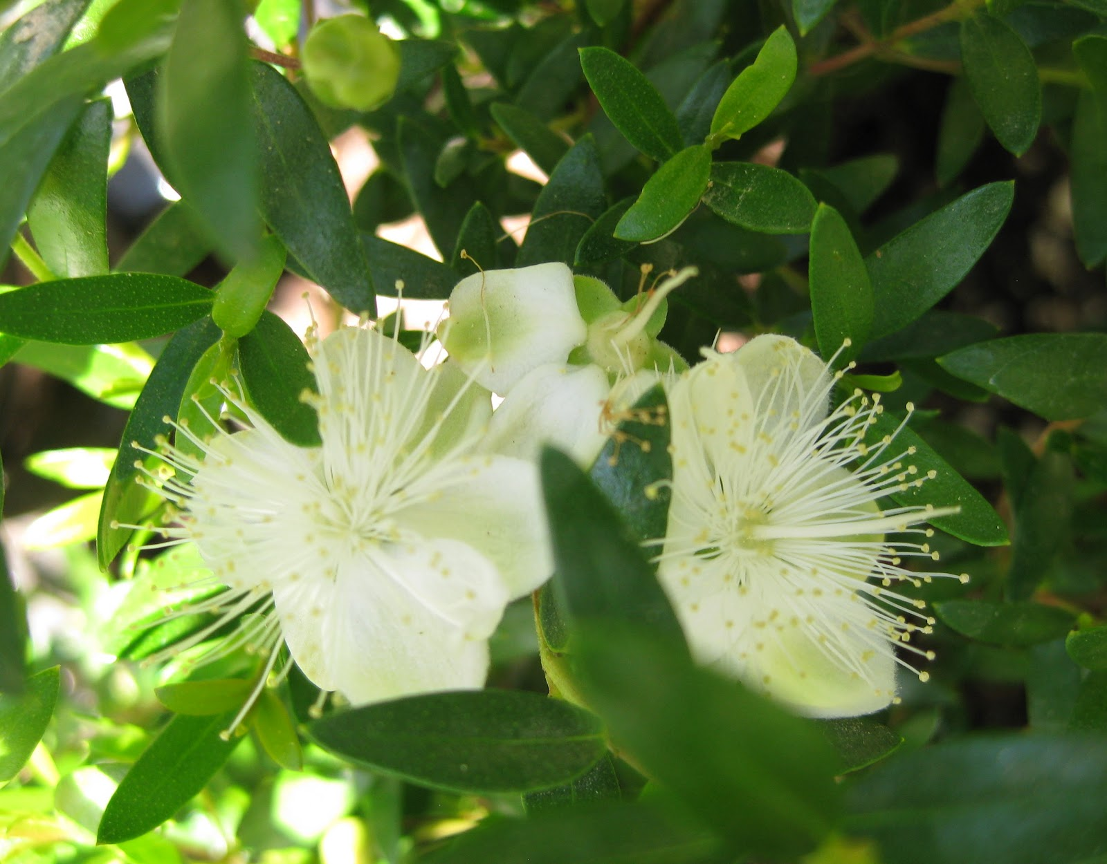 Dwarf Myrtle flowers