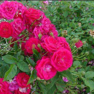 Rose 'Eutin'-0
