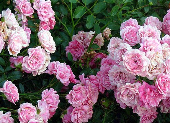 Rose 'The Fairy' Climber-904
