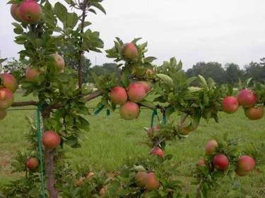 Cumberland Spur Apples, Fresh Fruit-1500