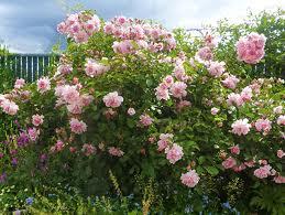 Rose 'Felicia'-0