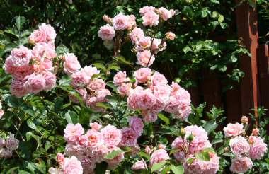 Rose 'Felicia'-820