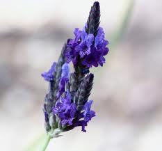 Lavender Fernleaf-520