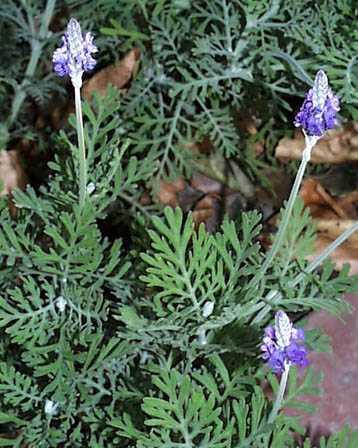 Lavender Fernleaf-0
