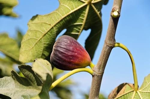 Fig 'Texas Everbearing'-0