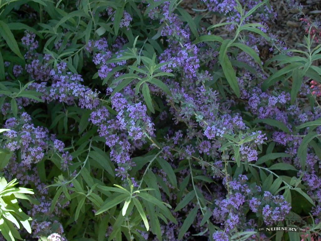 Butterfly Bush Alterinfolia-1032