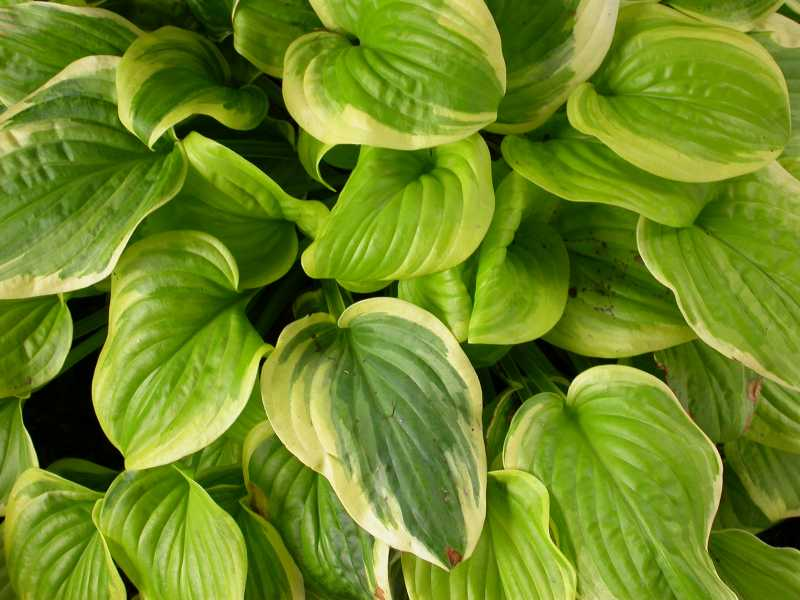 Hosta 'Fragrant Bouquet'-0