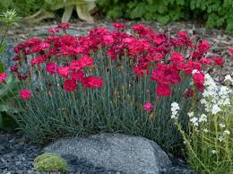 Dianthus 'Frosty Fire'-65