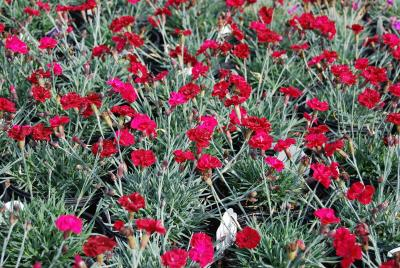 Dianthus 'Frosty Fire'-0