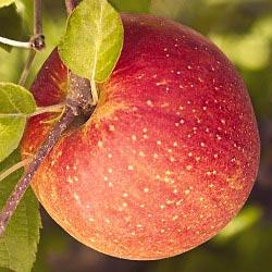 Apple 'Fuji'-1436