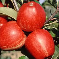 Apple 'Gala'-1439