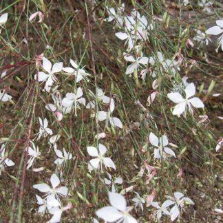"""Gaura """"Whirling Butterflies-0"""