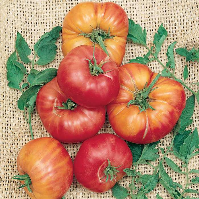 Tomato 'German Johnson Pink'-0
