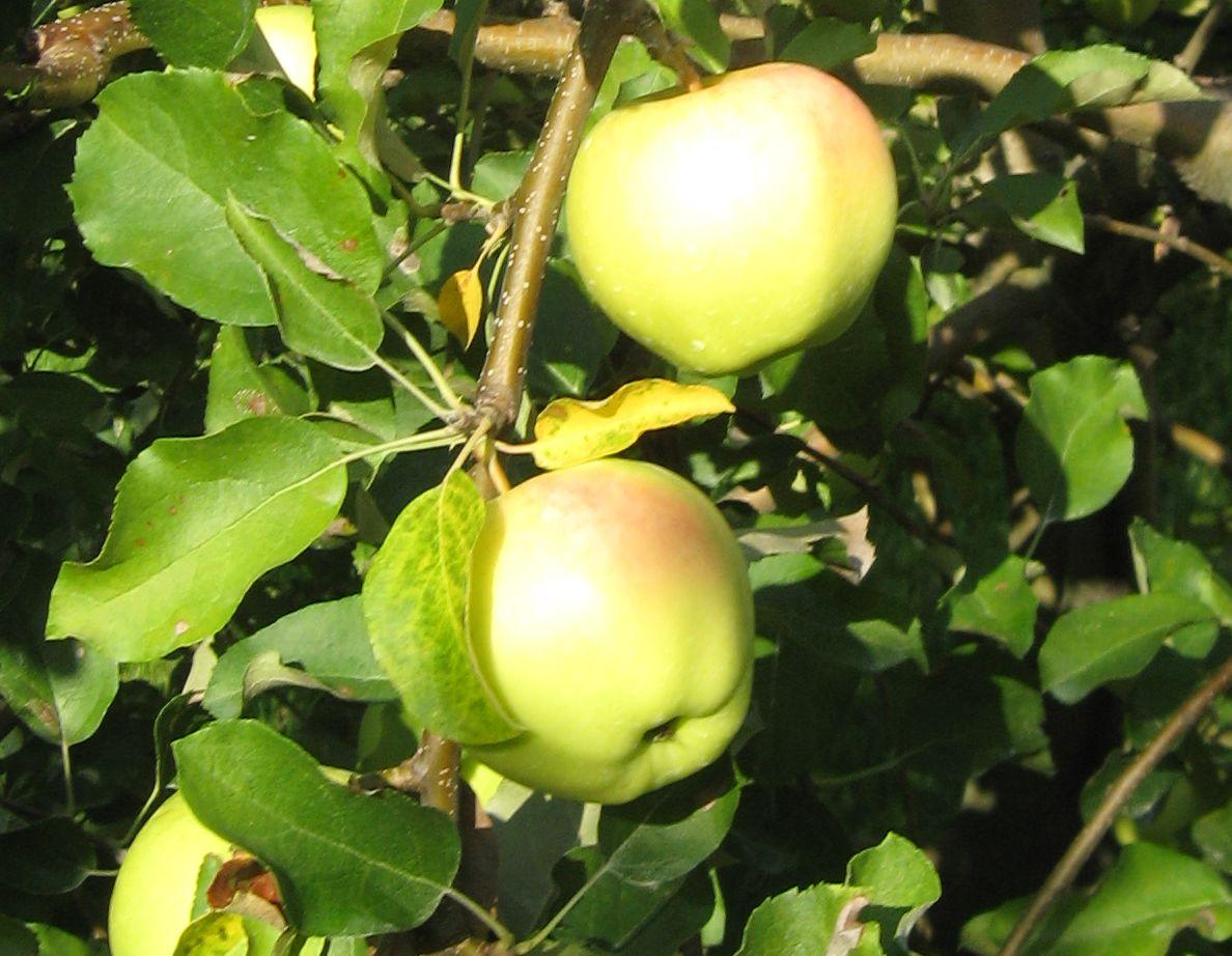 Apple 'Ginger Gold'-0