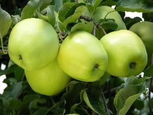 Apple 'Ginger Gold'-1440