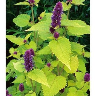 Agastache 'Golden Julibee'-0