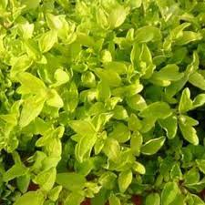 "Oregano 'Golden Greek"" 1 gallon container-0"