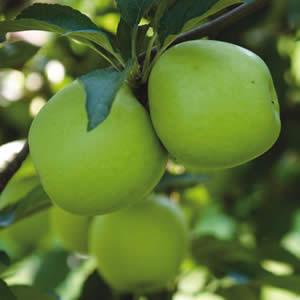 Apple 'Granny Smith'-1442
