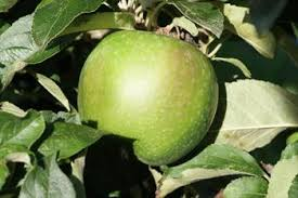Apple 'Spur Granny Smith'-1450
