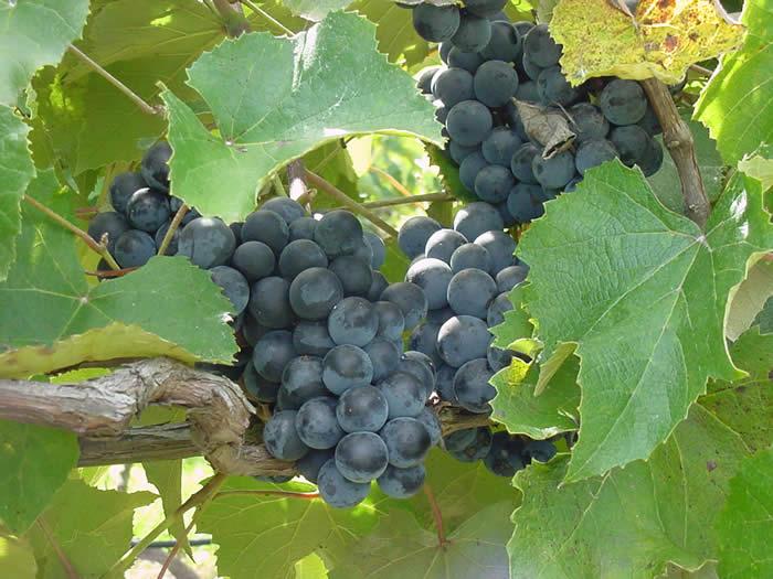 Grape 'Conquistdor'-0