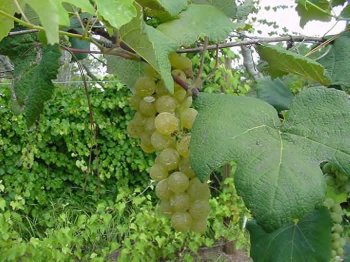Grapes 'Stover'-0