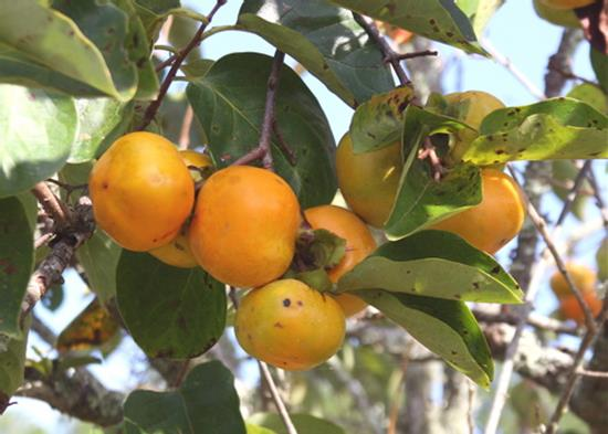 Persimmon 'Great Wall'-0