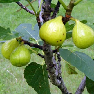 Fig 'Green Ischia'-0