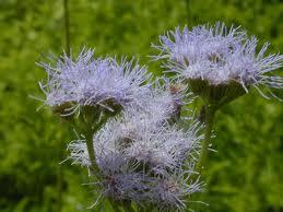 Gregg's Mist Flower-0