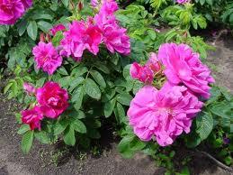 Rose 'Hansa'-0