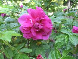 Rose 'Hansa'-910
