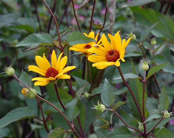 Heliopsis 'Summer Nights'-1647