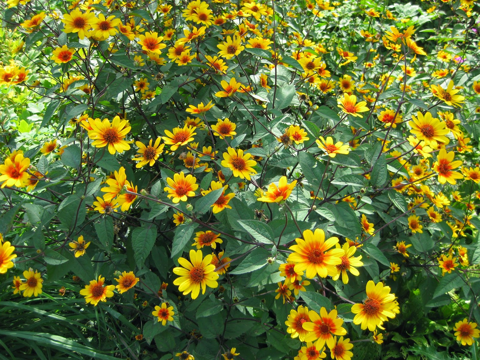 Heliopsis 'Summer Nights'-0