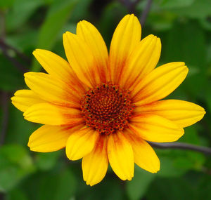 Heliopsis 'Summer Nights'-1646