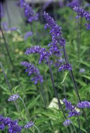 Salvia farinacea 'Henry Duelberg'-215