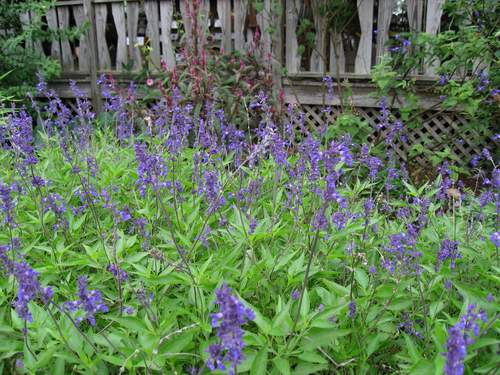 Salvia farinacea 'Henry Duelberg'-0