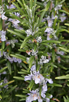 Rosemary 'Madeline Hill'-624