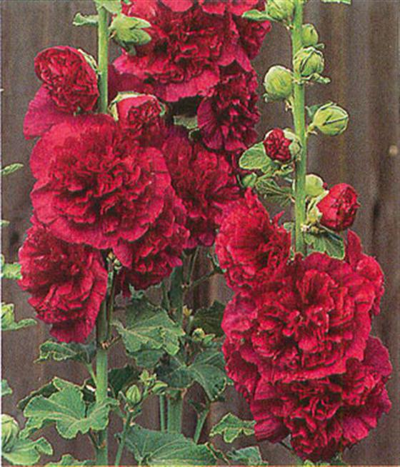 Hollyhock 'Chater's Double'-112