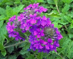 Verbena 'Homestead Purple'-271